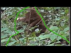 """TimberGiantBigfoot took A LOT of heat after posting his """"Giant Revealed"""" footage. Critics blasted him saying it was a bear, a man in a monkey suit, etc . Dawn Of The Planet, Planet Of The Apes, Bigfoot Photos, Bigfoot Sightings, Bigfoot Sasquatch, Mothman, Cryptozoology, Unique Animals, Werewolf"""