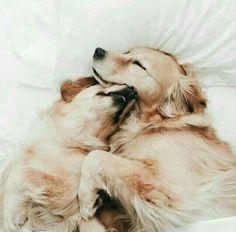 #goldenretriever #dogs #cute sleepy golden retrievers