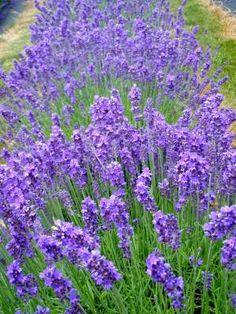 twickle purple lavendar  Prairie Bloom Perennial
