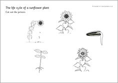 Sunflower life cycle cut and stick (SB4468) - SparkleBox