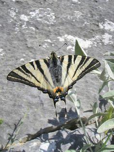 Paź żeglarz, witeź żeglarz, żeglarek (Iphiclides podalirius) – gatunek motyla zaliczany do rodziny paziowatych.