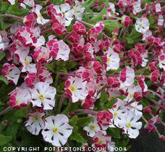 Want: Night scented phlox. They smell like vanilla  Zaluzianskya-ovata