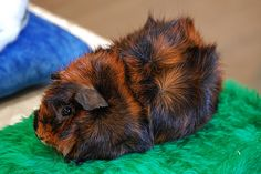 The Excellent Adventure Sanctuary. Why You Shouldn't Purchase A Guinea Pig At A Pet Store. You visit a pet store and you instantly fall in love with a cer Guinea Pig Breeding, Pet Guinea Pigs, Guinea Pig Care, Pet Pigs, Cute Piggies, Abyssinian, Pet Rabbit, Cute Creatures, Pet Store