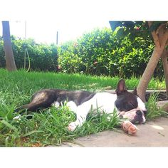 Sunday vibes 🌿💤 I just realised that we are 3k!!!! When Mommy&Daddy started to post my photos they never imagine this ❤️❤️❤️❤️ Thanks my friends!!!!! I love sharing my adventures with all of you! 🐶❤️ #relax #nap #sleeping #garden #melontheboston #bostonterrier #bostons #puppy #cutepuppy #bostie #dog #puppies #dogsofinstagram #pet #instapuppy #bostonterriersofinstagram #instadog #instapet #dogstomy #dogoftheday #cute #bostonterrierforever #flatfacedcrew
