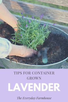 In this post I share tips for growing lavender in containers. Simple and rewarding! English Lavender Plant, Lavender Potted Plant, Lavender Planters, Lavender Plant Care, Planting Lavender Outdoors, Potted Garden, Garden Plants, House Plants, How To Propagate Lavender