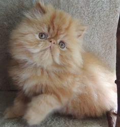 pratthu nayak - Selkirk Rex - Ideas of Selkirk Rex - pratthu nayak Selkirk Rex Ideas of Selkirk Rex pratthu nayak The post pratthu nayak appeared first on Cat Gig. The post pratthu nayak appeared first on Cat Gig. Cute Little Kittens, Cute Cats And Kittens, I Love Cats, Crazy Cats, Cool Cats, Kittens Cutest, Pretty Cats, Beautiful Cats, Baby Animals