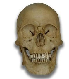 Museum Quality Skull Halloween Prop - Morbid