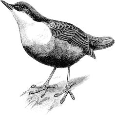 dipper bird #birdClipart #birdartPrintable #digitalStamp #animal illustrations to printout