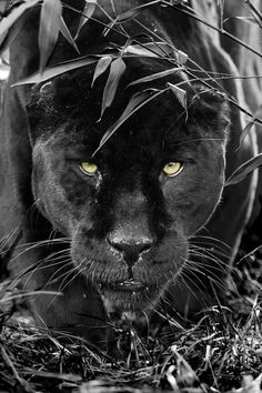 So…Stunning Black Panther… Wow …. so … stunning black panther … Beautiful Cats, Animals Beautiful, Beautiful Pictures, Regard Animal, Animals And Pets, Cute Animals, Wild Animals, Baby Animals, Grand Chat