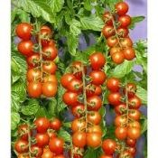 tomaccio tomatoes, super sweet flavor, dries on the vine as sweet raisins and incredibly prolific producers