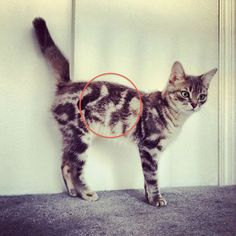 Photo of cat marking on cat fur. Some cats are born with fur prints that have cool markings as if they are a walking piece of artwork Cute Funny Animals, Funny Animal Pictures, Funny Cats, Funniest Animals, Funniest Pictures, I Love Cats, Crazy Cats, Cool Cats, Cute Kittens