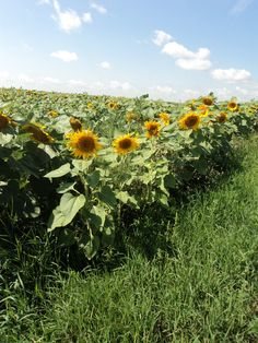 Our family farm in southeastern Saskatchewan started planting sunflowers in the 1960's,