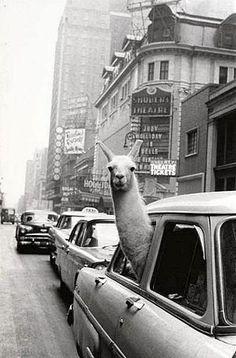 inge morath :: a llama in times square (1957)