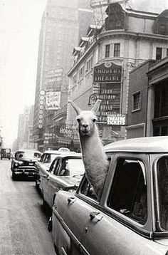 A Llama in Times Square, December 2. 1957, photo by Inge Morath
