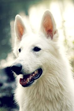 White Swiss Shepherd                                                       …