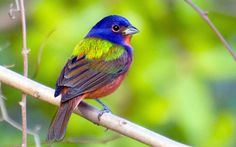 Painted Bunting: Mark Eden