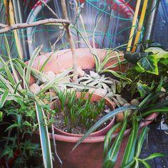 こんにちは。天候は、晴れ。午前中の雨は上がりました。一番大きな鉢をリフレッシュ。植物を植え替えました。今日もよろしくお願いします。 #Hi #fine #gardening #refresh #植え替え
