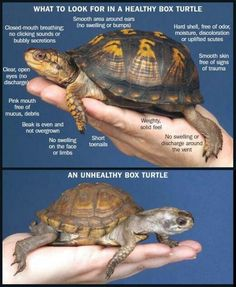 ♥ Pet Turtle ♥ What you should know about Eastern Box Turtles: Terrapene carolina carolina Tortoise Habitat, Tortoise Care, Tortoise Turtle, Red Ear Turtle, Turtle Cage, Sulcata Tortoise, Tiny Turtle, Box Turtle Habitat, Turtle Enclosure