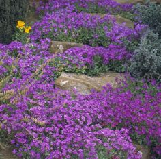 'Purple Cascade' (Cascade Series) Aubrieta - flowers Mar-May in full sunAubrieta - flowers Mar-May in full sun Landscaping With Rocks, Backyard Landscaping, Garden Mesh, Garden Art, Rock Border, Deer Resistant Plants, Ground Cover Plants, Fall Plants, Flowers