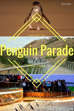 One of Australia's most popular wildlife experiences is the Penguin Parade at Phillip Island. Here's how to get the most out of your family visit. Travel Advice, Travel Guides, Travel Tips, Travel Destinations, Travel Hacks, Australia Honeymoon, Australia Travel, Penguin Parade, Visit Jamaica