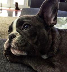 French Bulldog Puppy - Olive the Frenchie #Buldog