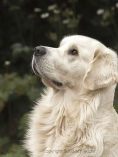 golden retriever #labradorretriever