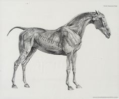 George Stubbs study of a horse