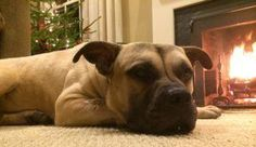 """MACK is a friendly 2-year-old, 70-lb Mastiff-Boxer-Bulldog who is great w/ kids & other dogs! Foster mom says """"Loves hugs, & being close to his pack mates (humans too)! Loves having kisses placed on his mushy cheeks &  thrives on ear & belly rubs!  Has not shed at all! Is house-trained & never pulls on his leash! Recommended for an experienced dog owner. Is neutered, HW negative & current on vaccines. Visit  WWW.LULUSRESCUE.COM/ADOPT to apply!"""