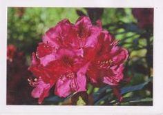 http://www.bastelzwerg.eu/product_info.php/info/p1142_Blumen-Fotokarte-azaleefarbener-Rhododendron.html