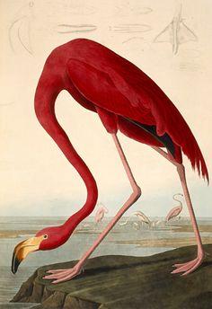 By John James Audubon (1785-1851), Greater Flamingo (Phœnicopterus ruber, Flamant rose), The Birds of America.