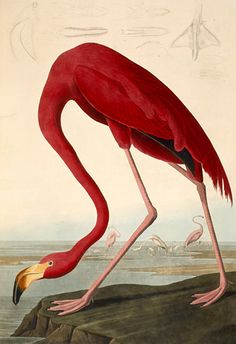 By John James Audubon (1785-1851), Greater Flamingo (Phœnicopterus ruber, Flamant rose), The Birds of America.