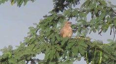 Jungle Babbler (SHRIKANT MADHAV KELKAR)
