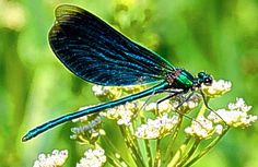 Dragonflies have a very short lifespan. They usually only live for about a month or less. However, some dragonflies can exist for up to half a year.