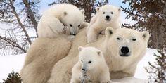 세 쌍둥이 북극곰의 외출
