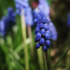 Good morning Tuesday! It's a big day in the garden for me enjoying the last of the grape hyacinths. #OakandMonkeyPuzzle #SpargoCreek #Daylesford #buildingagarden #gardendesign #landscapearchitecture #grapehycinths #muscari #flowers #spring #thesimplethings #home