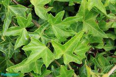 hiedra verde. http://www.plantamus.es/comprar-plantas-cubresuelos-enredaderas