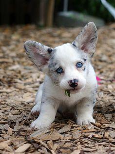 CORGI PUPPY. I want one!!!