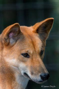 Australian Dingo (Canis lupus dingo)