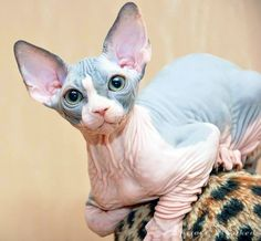 20 Most Affectionate Cat Breeds in The World - Hairless Cat - Ideas of Hairless Cat - Sphynx Affectionate Cat Breeds The post 20 Most Affectionate Cat Breeds in The World appeared first on Cat Gig. Pretty Cats, Beautiful Cats, Kittens Cutest, Cats And Kittens, Cute Hairless Cat, Sphinx Cat, Rex Cat, Super Cat, Cat Breeds