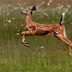 trem-das-cores:    Summer Fawn - White-tailed Deer