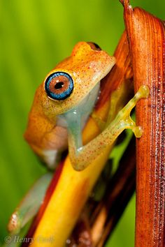 reptiglo:    Boophis viridis, Andasibe-5497 by Henry.Cook on Flickr.