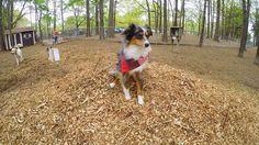 @lendapaw sent us this dapper bandana and I refuse to take it off of West. Endless heart eyes  #Aussie #aussiegram #bestwoof #aussienation #aussiesofinstagram #australianshepherd #bluemerle #puppiesxdogs #australianshepherdsofinstagram #dailyaussie #instagramdogs #happydog #ilovemydog #love #dogsofinstagram #dogstagram #dog #teamcanon #dogsoftheday #doglife #aplacetolovedogs #lacyandpaws #doglover #dogsandpals #mydogiscutest #mydogisthecutest #topdogphoto #follow4follow #instadog #gopro by…