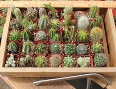 "Assorted cactus in their plastic square 2"" containers, $1.40 each. TheSucculentSource"