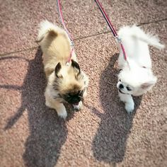 Pekingese 페키니즈 반려견 pet dog puppy