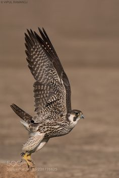 A Peregrine Falcon takes off in Little Rann of Kutch. Peregrine Falcon, Raptors, Owl, Birds, Popular, Animaux, Peregrine, Owls, Bird