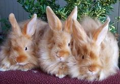 Satin Angora Rabbits produce a wool that is claimed to be stronger for spinning than other angoras'. However, it is also considered harder to spin because it is more slippery.