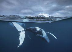 Wahnsinn! Unglaublich die Wal-Bilder von Audun Rikardsen. Merh davon auf GEO.de