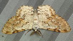 Moth from Yasuni National Park