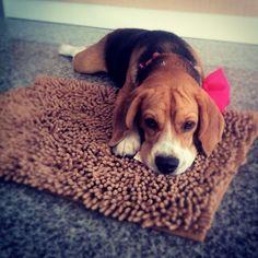 Beagle<3 Pinterest: luanaaraujoz