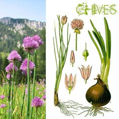 #Gardening : How to Grow Your Own Garlic Chives